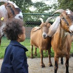 mari_goats